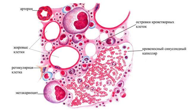 Плазмоклеточные заболевания: причины, симптомы, диагностика, лечение