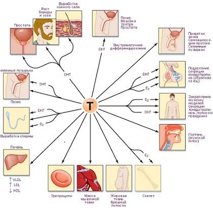 Гормональные тесты: тестостерон, ФСГ и гормоны щитовидки